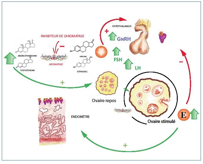 Induction de l'ovulation dans le syndrome des ovaires ...