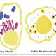 Quand les lymphocytes NK (natural killer) de la décidua pratiquent l'injection intracytoplasmique (de granulysine)